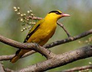 Black-naped Oriole eyeing on Lannea coromandelica fruits W IMG 7470.jpg