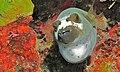 Black-spotted Puffer (Arothron nigropunctatus) (6055881338).jpg