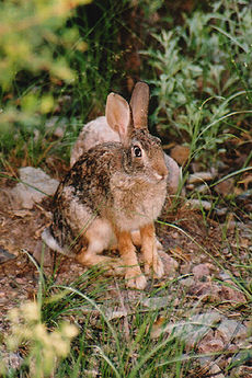 Kaliforninis kiškis (Lepus californicus)