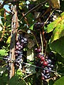 Black Dog Vineyards (21496351663).jpg