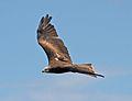 Black Kite 11a (6022398327).jpg