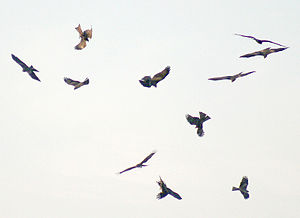 English: Black Kite Milvus migrans in Kolkata,...