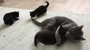 Fichier:Black and tuxedo kittens.webm