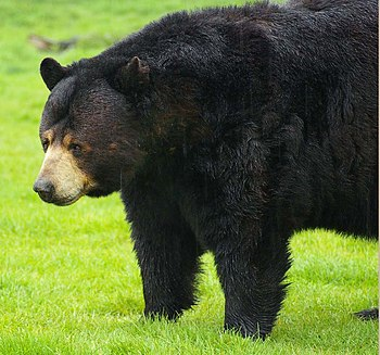 English: Black bears can be seen roaming aroun...
