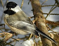 Black capped chickadee cp.jpg