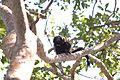 Black lion tamarin Pontal do Paranapanema 8.jpg