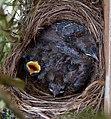 Blackbird Nest (5880632151).jpg