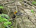 Blackburnian Warbler Setophaga fusca, Pheasant Branch, Middleton, WI 1.jpg