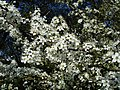 Blackthorn blossom - geograph.org.uk - 161795.jpg