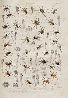 <i>Hypomma</i> Genus of spiders