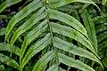 Blechnum novae-zelandiae in Wellington Botanical Garden 01.jpg