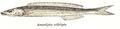 Bleekeria kallolepis Day.png