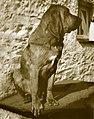 BloodhoundMo-Gorham-5A025FFF.jpg