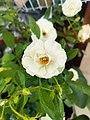 Blooming White Rose.jpg