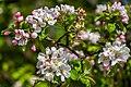 Blossom (26821366040).jpg