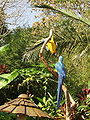 Blue-and-yellow Macaw Argentina.JPG