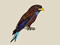 Blue-throated Roller specimen RWD.jpg