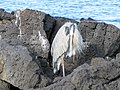 Blue Heron - Santa Cruz Dragon Hill - Galapagos Islands - Ecuador (4870632181).jpg