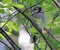 Blue Jay (juvy) (35616925355).jpg