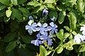 Blue plumbago(Plumbago auriculata) 2703.jpg