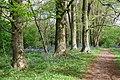 Bluebell woods - geograph.org.uk - 1287374.jpg