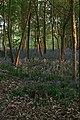 Bluebells, Sisland Carr - geograph.org.uk - 477381.jpg