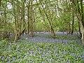 Bluebells at Fatting Hovel Copse - geograph.org.uk - 779187.jpg