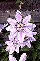 Blume-Waldrebe-Clematis.jpg