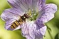 Blume mit Schwebfliege.jpg