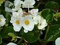 Blumen - panoramio (2).jpg