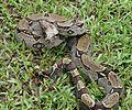 Boa constrictor amarali - Flickr - Dick Culbert.jpg