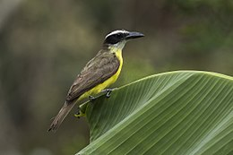 Boat-billed Flycatcher - Talari Lodge - Costa Rica MG 7578 (26603424382).jpg