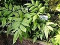 Bolbitis heteroclita - Botanischer Garten München-Nymphenburg - DSC08166.JPG