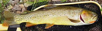 Bonneville cutthroat trout - A Bonneville cutthroat trout