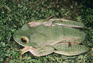 White-lipped bright-eyed frog species of amphibian