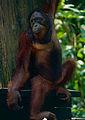 Bornean Orangutan (Pongo pygmaeus) (14582359741).jpg