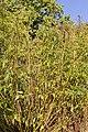 Botanischer Garten Berlin-Dahlem 10-2014 photo16 Datisca cannabina.jpg