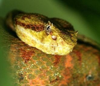 Bothriechis schlegelii - B. schlegelii
