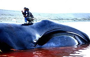 Aboriginal whaling - Bowhead whale caught in Igloolik, Nunavut in 2002.