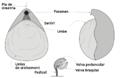 Brachiopoda-morphology-ca.png