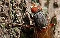 Brachyopa bicolor, Forêt de Soignes, Brussels (34580888825).jpg