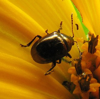 Eumolpinae - Image: Brachypnoea