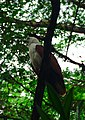 Brahminy Kite portrait in Ninoy Aquino Parks and Wildlife Center.jpg