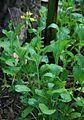 Brassica rapa 1.jpg