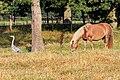 Breakfast together - Haflinger horse.jpg