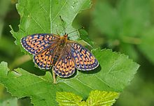 Brenthis hecate - Twin-spot Fritillary butterfly.jpg