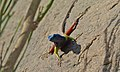 Broadley's Flat Lizard (Platysaurus broadleyi) male (6437293879).jpg