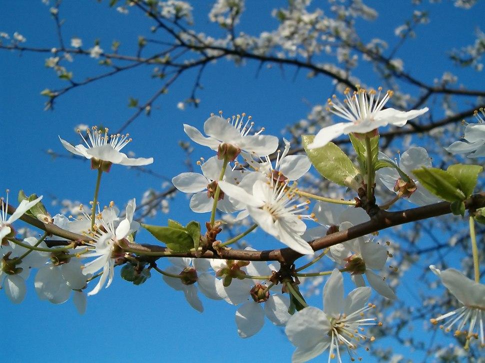 Brosen fruittree flowers