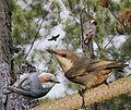Brown-headed Nuthatch From The Crossley ID Guide Eastern Birds.jpg