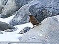 Brown Dipper (Cinclus pallasii) (43571604242).jpg